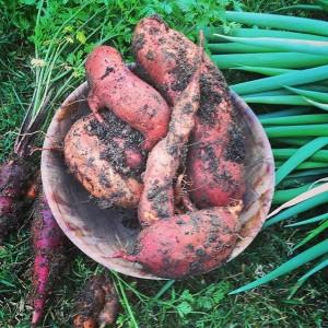 Patata dolce, carote multicolor, cipolltti