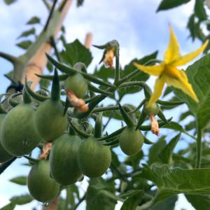 Pomodoro datterino in fiore e primi frutti in maturazione