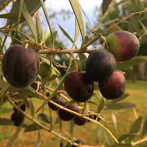 Prime olive dall'albero piantato nel 2017 in concomitanza con la nascita di Lorenzo