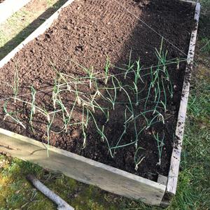 Trapianto cipolle di inizio anno. Ho diviso le colture di ciascuna aiuola in linee geometriche. Durante la fase di vegetazione e raccolto il risultato è stato molto gradevole e ordinato.