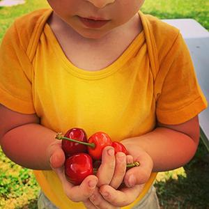 L'albero di ciliegie comincia a dare i primi frutti.